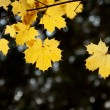Maple leaves on a branch — Stock Photo