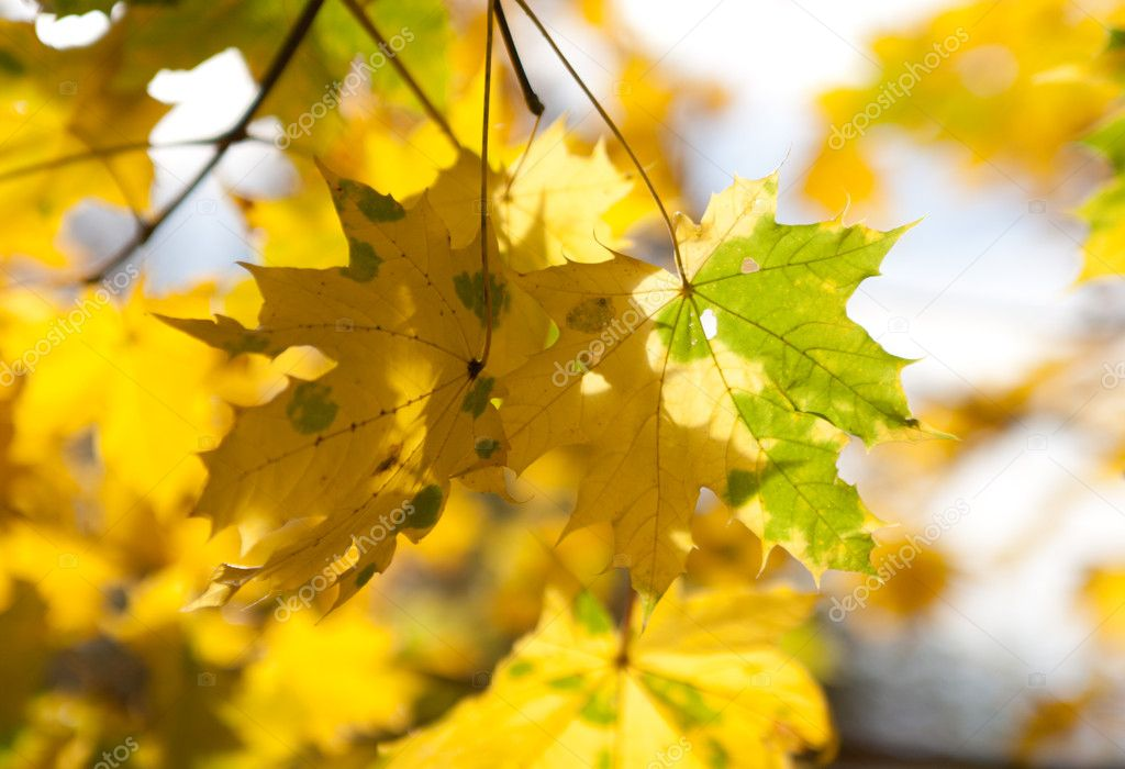 Photo of maple leaves in the sunlight — Stock Photo #11060002