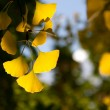 Autumn leaves of ginkgo — Stock Photo