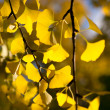 Ginkgo leaves — Stock Photo #11467378