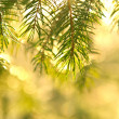 Spruce branches in sunshine — Stock Photo