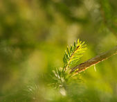 Pine branch in the sunlight — Stock Photo