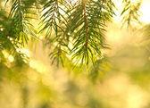 Ramos de abeto vermelho no sol — Foto Stock