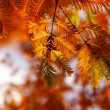 Autumn branches spruce — Stock Photo