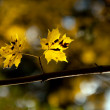 Autumn maple leaves on a branch — Stock Photo #11496088