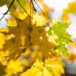Maple leaves in the sunlight — Stock Photo #11498315