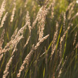 Prairie grass in the sunshine — Stock Photo