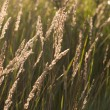Prairie grass in the sunshine - Stock Photo