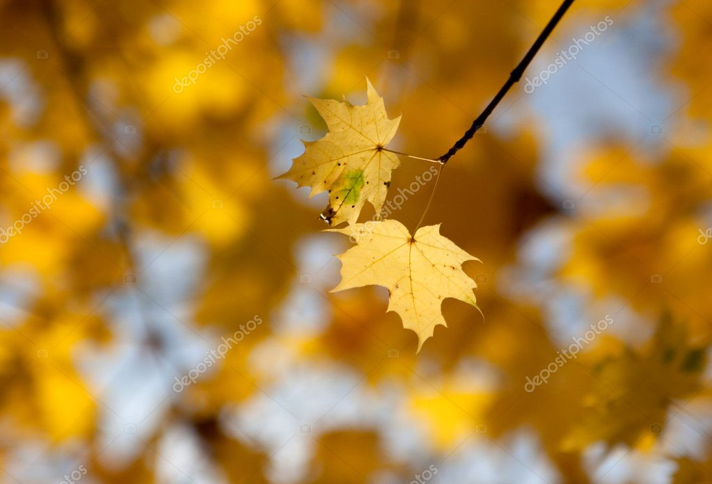 Photo of maple branch in a forest — Stock Photo #11498190