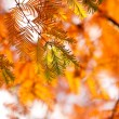 Autumn fir in sunlight — Stock Photo