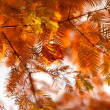Autumn fir — Stock Photo