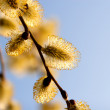 Blooming  catkins of  willow against the sky — Stock Photo