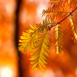 Branch of autumn fir — Stock Photo