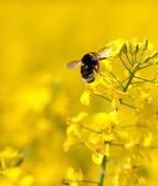 Bumble bee on a flower of canola — Stock Photo