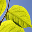 Close up of  green leaves in sunlight — Stock Photo