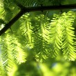 Fir branches in the sunlight — Foto de Stock