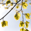 Green leaves  against the sky — Stock Photo #11534595