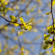 Spring green branches - Photo