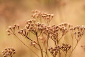 Dried flower buds of weeds — Stock Photo