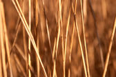 Reed stems — Stock Photo