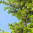 Young needles of spruce against the sky — Stock Photo