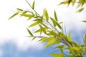 Bambusových listů — Stock fotografie