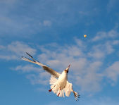 Gull Aerialist in the light of the setting sun — Stock Photo