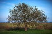 Bare tree in spring — Stock Photo