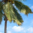 Palm tree in front of blue sky — стоковое фото #11441974