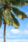 Palm tree in front of blue sky — Stock Photo