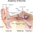 Anatomy of the Ear - Vettoriali Stock