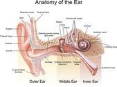 耳の解剖学 — ストックベクタ