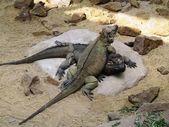 Par de iguanas — Fotografia Stock