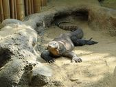 Komodo dragon — Foto Stock