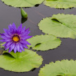 Stock Photo: Purple Lotus