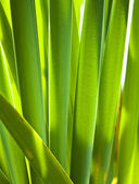 Reed leaves3 — Foto Stock