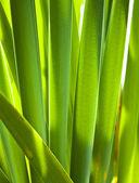 Reed leaves3 — Foto de Stock