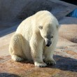A polar bear in a zoo — Stock Photo