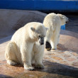 Two polar bears in a zoo — Stock Photo