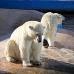 Two polar bears in a zoo — Stock Photo #10864064