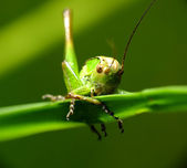 Grasshopper in the meadow — Stock Photo