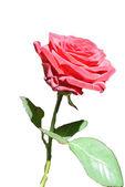 červená růže — Stock fotografie