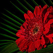 Red gerbera - Stock Photo