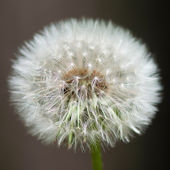 Untouched dandelion — Stock Photo