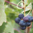 Bunch of grapes on the vine — Stock Photo #11120111