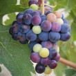 Bunch of grapes on the vine — Stock Photo #11120129
