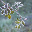 Stock Photo: Bramble branch covered in frost