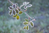 Bramble branch covered in frost — Stock Photo