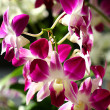 Orchids — Stock Photo #11596026