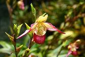 Orchid, lady's-slipper — Zdjęcie stockowe